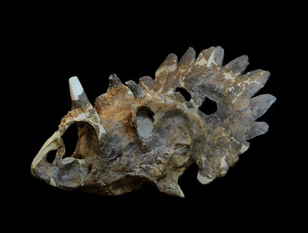 Regaliceratops-Peterhewsi-Skull