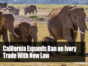 California-Ban-on-Ivory-Trade-Recommnded